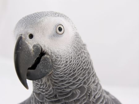 The head of an African Grey Parrot photo