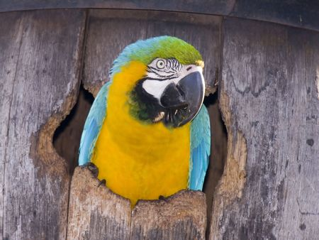 A blue and gold macaw sticking its head out of a barrel.