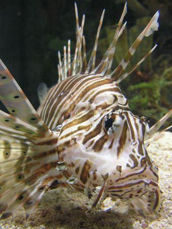 pterois volitans: A lionfish (Pterois volitans) in an aquarium.