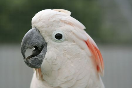 The head of a moluccan cockatoo (salmon-crested).