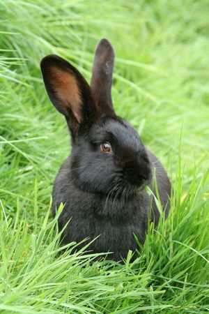 A black rabbit in some long green grass Stock Photo