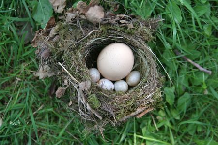 trespasser: A birds nest with 4 eggs and one intruder Stock Photo