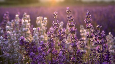 lavendar: Some lavendar with the sun setting behind it Stock Photo