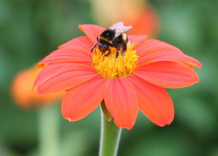 A bee on a bright red flower