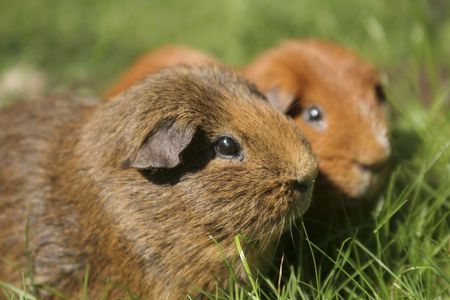Close up of two guinea pigs in grass photo