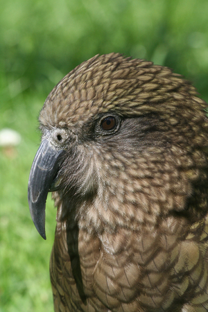 Portait of a Kea parrot from New Zealand