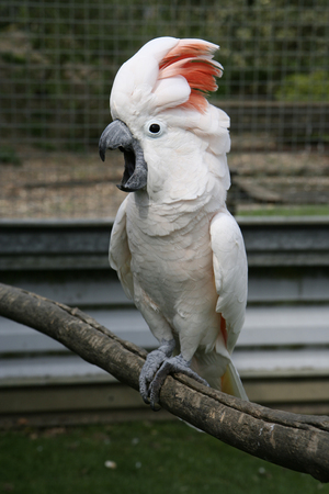 A screeching moluccan cockatoo (also known as a salmon breasted cockatoo).
