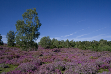 A vivid blue sky with a single tree and a heather field below.  Taken in Hampshire, England in August.