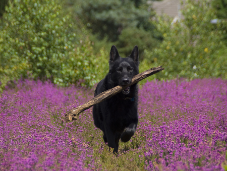alsation: A black german shepherd dog with a stick in its mouth running through a field of heather.