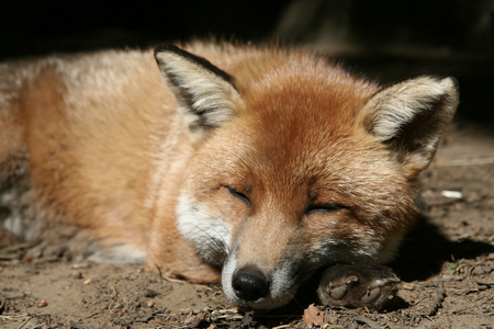 dozing: A sleepy red fox dozing in the sun