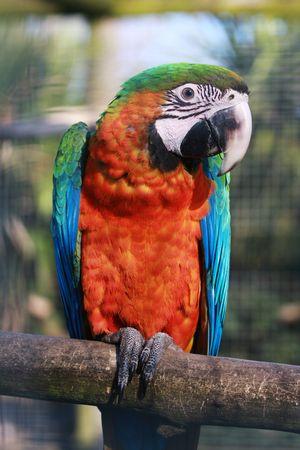 A portrait shot of a Harlequin Macaw