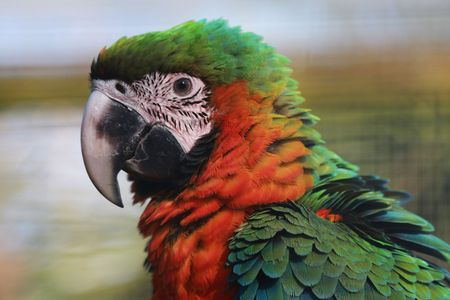 A close up of a head of a Harlequin Macaw.