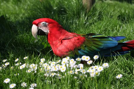 green winged macaw: A green winged macaw on the ground on grass with daisies.  Latin name Ara chloropterus.
