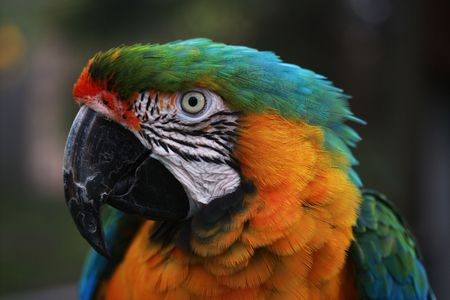 psittacidae: Head shot of a Harlequin Macaw parrot. Stock Photo