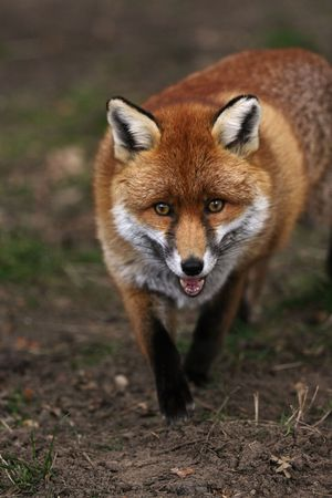 looking towards camera: Vertical shot of a red fox walking towards the camera with a natural looking background.