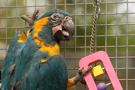 A Caninde Macaw otherwise known as Blue Throated Macaw parrot in an aviary playing with a toy.