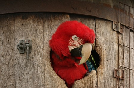 The red head of a Green Wing Macaw parrot sticking out of a barrel Stock Photo
