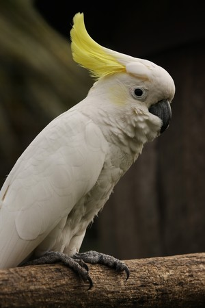 A vertical shot of a Sulphur Crested Cockatoo Stock Photo