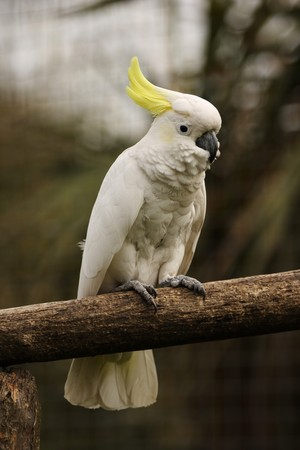 Vertical shot of the whole body of a Sulphur Crested Cockatoo parrot. Stock Photo