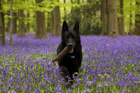 A black german shepherd dog carrying a stick in a bluebell wood photo