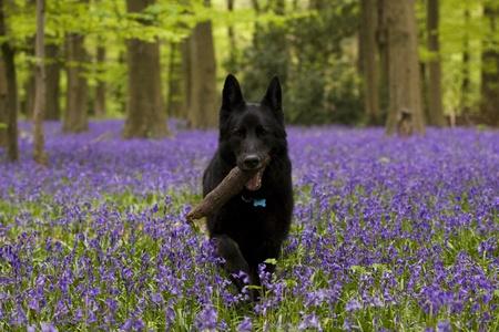shepherd: A black german shepherd dog carrying a stick in a bluebell wood