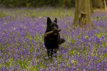 alsation: A black german shepherd dog carrying a stick in a bluebell wood
