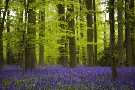 beautiful woodland: An ancient bluebells woodland forest with a carpet of purple flowers Stock Photo