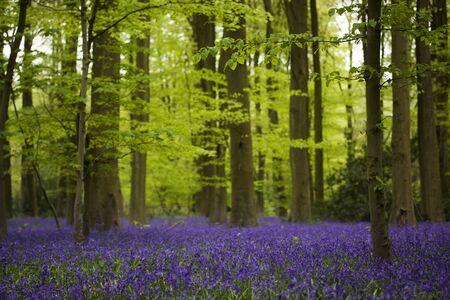 forrest: Een forest oude bluebells bos met een tapijt van paarse bloemen