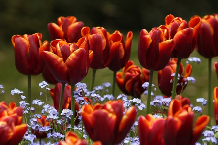 Many bright red tulips with yellow on the edge of the petals and forget me not flowers. photo