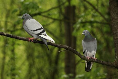 Two pigeons in a tree against bright green foliage photo