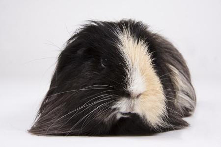 cavie: Pelo lungo cavia bianco e nero su sfondo bianco.