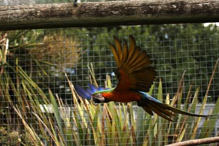 Un vol parrot Ara dans une volière.