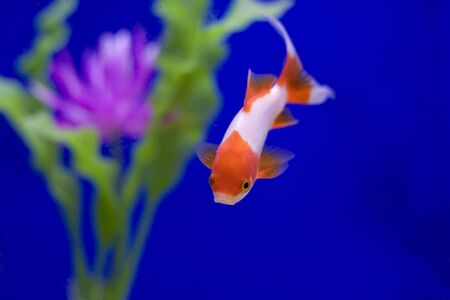 A red and white goldfish in a tank with a pink flower against a blue background. photo