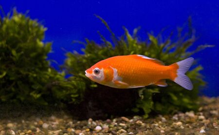 A goldfish in a tank with green weeds against a blue background. Stock Photo - 8295794