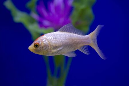 A white goldfish in a tank against a blue background swimming past a purple flower. photo