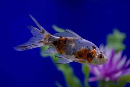 A goldfish in a tank against a blue background swimming past a purple flower. photo