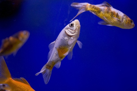A selection of goldfish in a tank against a blue background. photo