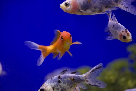 A selectin of goldfish in a tank against a blue background. photo