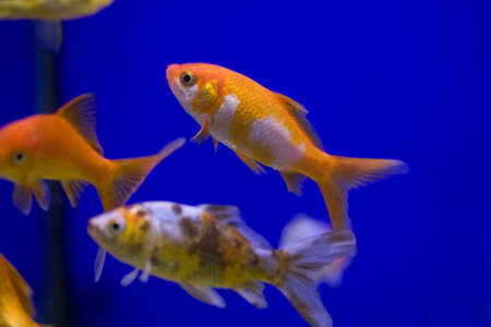 Some goldfish in a tank against a blue background. photo