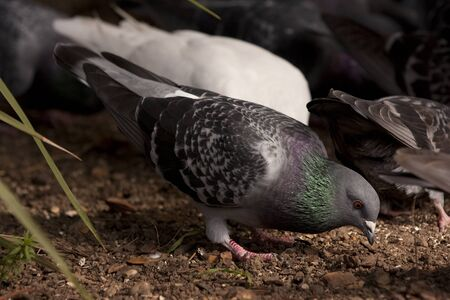 feral: A feral pigeon eating in a public park with others in the background. Stock Photo