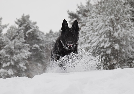 A black German Shepherd Dog running towards the camera in snow.