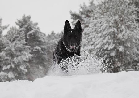 white shepherd dog: Un cane da pastore tedesco nero correre verso la telecamera nella neve.