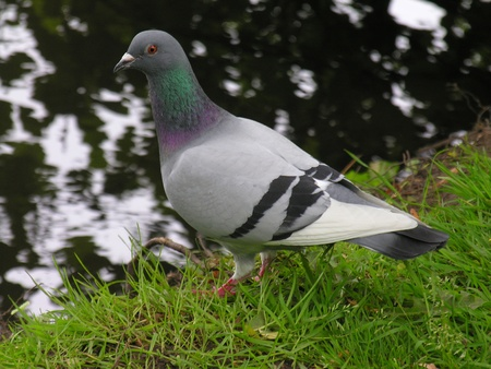 A feral pigeon stood on the bank by a river.