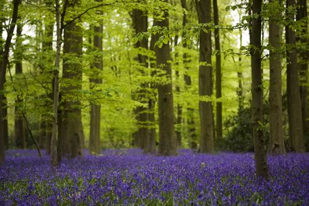 bluebells: An ancient bluebells woodland forest with a carpet of purple flowers Stock Photo