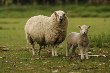 ewe: A mother ewe and her lamb in a field