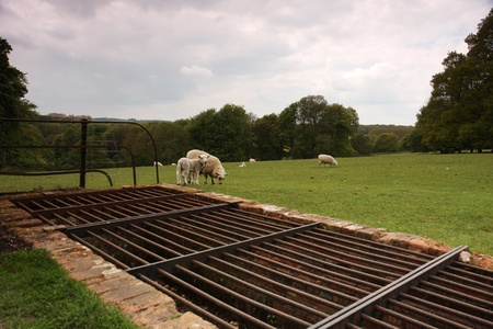 cattle grid: A cattle grid preventing sheep from leaving a field. Taken in England