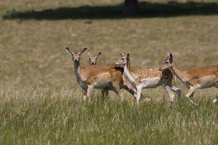 herd deer: A herd of fallow deer in short grass