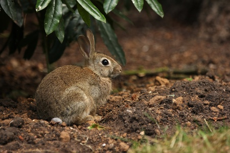 A young bunny rabbit sat on some soil underneath a green bush watching the camera photo
