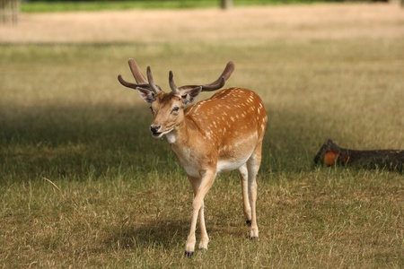 fallow deer: A wild fallow deer stag walking towards the camera on a sunny summers day. This was taken in Bushy Park in London.
