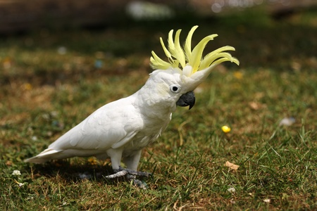 cockatoo: A Lesser Sulphur Crested Cockatoo walking on grass with his crest erect. Stock Photo